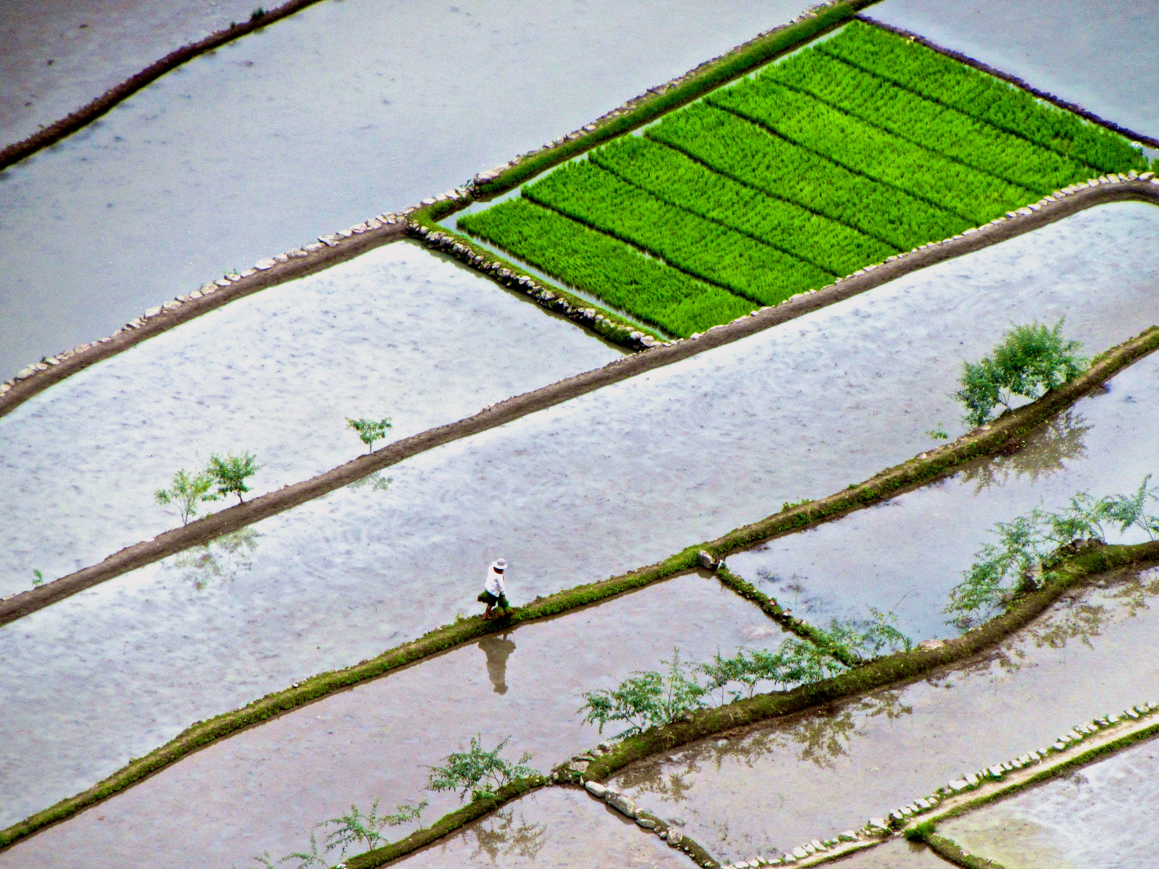 Agriculture Rice Planting be Seen Planting Rice in